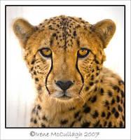 Cheetah - BIG kitty by substar