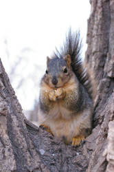 Squirrel by pixlepixie