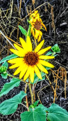 Sunflower? by Reb29