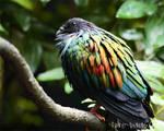 JBP - Nicobar Pigeon by furryphotos