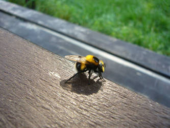 Bee II by edvordo