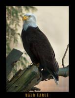 Bald Eagle by Violet-Kleinert