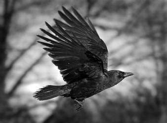 As the Crow Flies BW by Violet-Kleinert