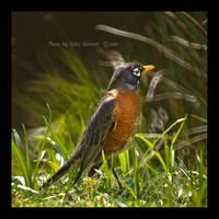 American Robin by Violet-Kleinert