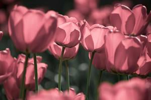 Tulips by Mimilotka