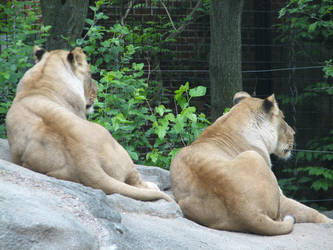 Resting Lionesses by xThe-Twilight-Wolfx