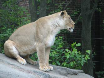 Sitting Lioness by xThe-Twilight-Wolfx
