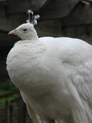 Albino Peacock by xThe-Twilight-Wolfx