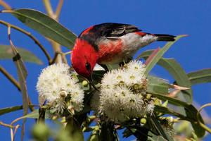 Scarlet Honeyeater by strictfunctor