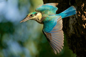 Sacred Kingfisher Departing Its Nest by strictfunctor