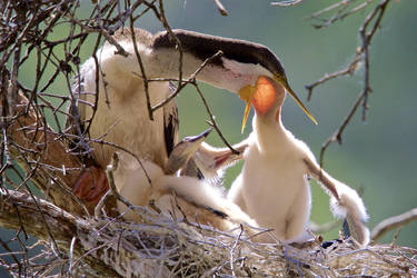 Australasian Darter (F) Feeding Chick by strictfunctor