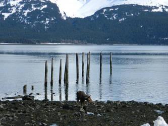 moose on the beach photo by alexvontolmacsy