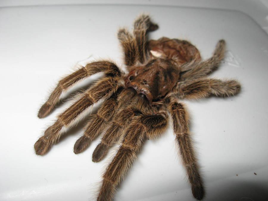 Jessica: My tarantula by draenei-friend