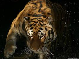 Tiger Bath by Mafisek
