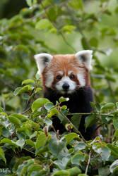 red panda by Mafisek