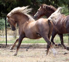 Ponies 002 by aussiegal7