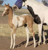 Foal 040 by aussiegal7