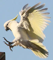 Sulphur Crested Cockatoo  08 by aussiegal7
