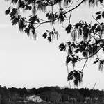 spring oak by JJPoatree