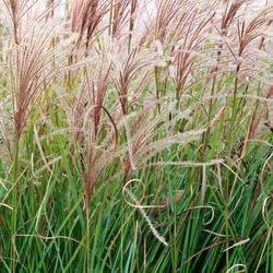 dancing wheat by JJPoatree
