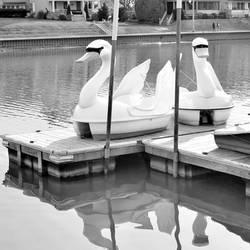 swan boats 1 square by JJPoatree