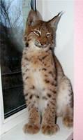 House lynx zen by foxsvir