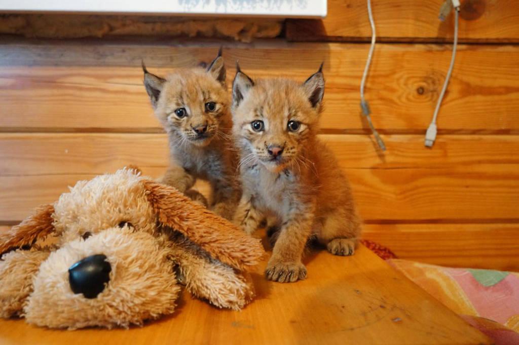 lynx by foxsvir