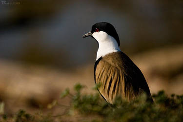 Spur winged plover at hiding by geostant