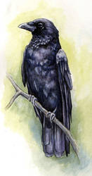 Crow by glait