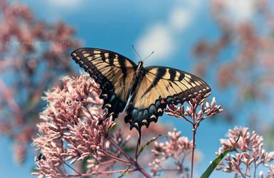 Swallowtail by Project-Pestilence