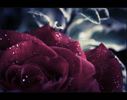 Rose - I by Fr0zenIllusi0n