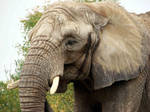 African Elephant by asaph70