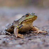 Bull Frog 2 by asaph70