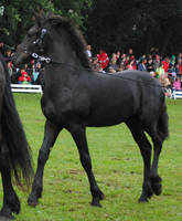 Friesian Foal Stock 03 by ponystock
