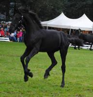 Friesian Foal Stock 07 by ponystock