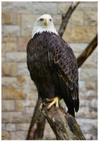Bald Eagle II by DysfunctionalKid