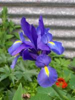 Iris Stock 1 by Stockopedia