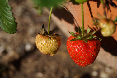 Strawberry Stock 1 by Stockopedia