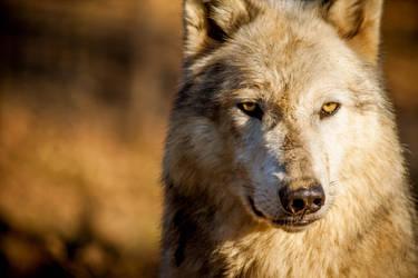 Timber Wolf by JoelAJD