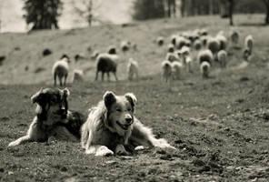 working shepherds by konczy