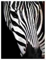 Zebra by yildiztozu