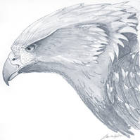 Golden Eagle Sketch by shi-chahn