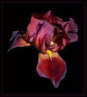 iris by liamk
