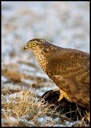 Sparrowhawk by Falconia