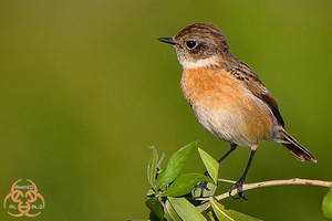 Female Stonechat by ahmedalali