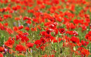 Wallpaper - poppy field by nicubunu