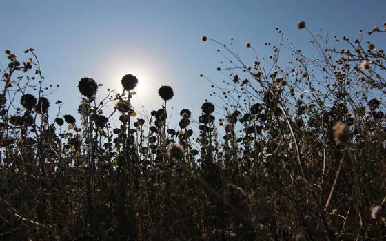 Sunflower field by nicubunu