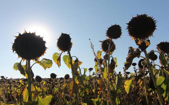 Sunflowers by nicubunu