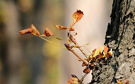 Chestnut leaves by nicubunu