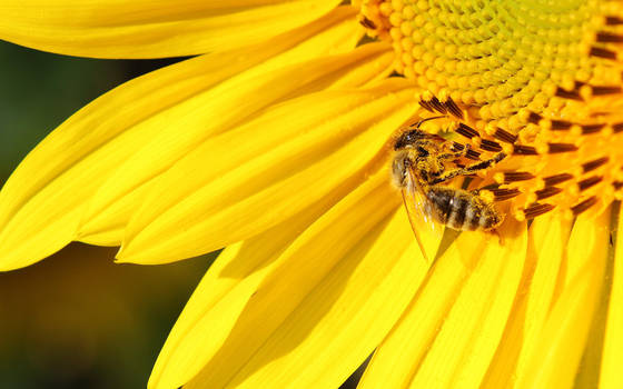 Bee and the sunflower by nicubunu
